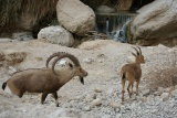 Козлушка и козел