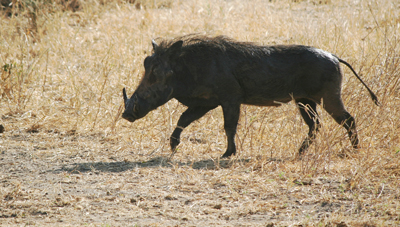 wild-pig-in-Serengeti